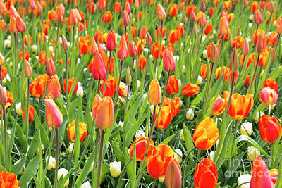 Photograph - Field With Orange Tulips by Compuinfoto