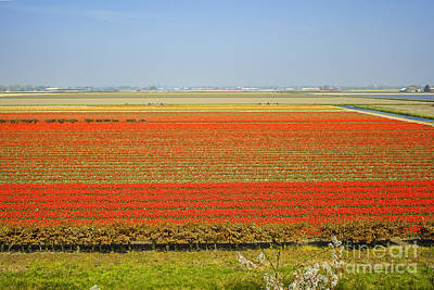 Abstract Royalty-Free and Rights-Managed Images - Field with red tulips by Patricia Hofmeester
