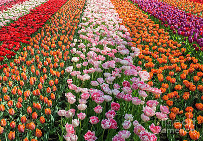 Photograph - Field With Tulips In Orange Pink Purple And White by Compuinfoto