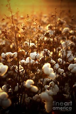 Fields Of Cotton Print by Karry Degruise