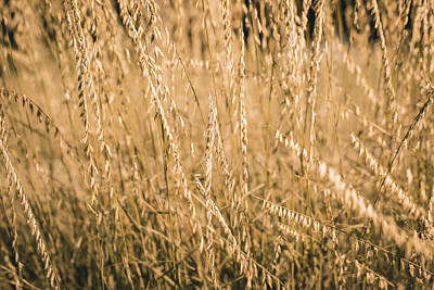 Photograph - Fields Of Gold by Allin Sorenson