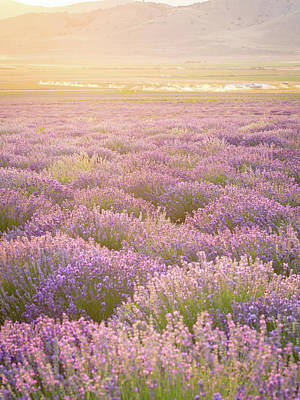 Photograph - Fields Of Lavender by Emily Dickey