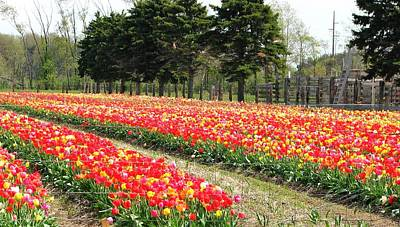 Nature Photograph - Fields Of Tulips by Beth Tidd