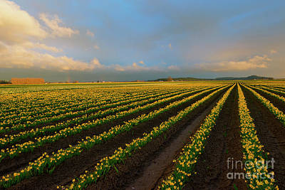 Daffodils Photograph - Fields Of Yellow by Mike Dawson