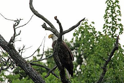Photograph - Fierce Bald Eagle by Debbie Oppermann