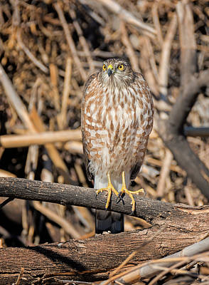Photograph - Fierce Sharp-shinned Hawk by Loree Johnson