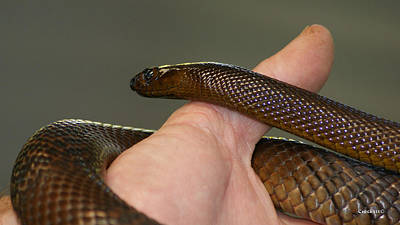 Photograph - Fierce Snake Inland Taipan 1 by Gary Crockett