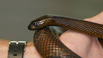 Photograph - Fierce Snake Inland Taipan 3 by Gary Crockett