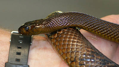 Photograph - Fierce Snake Inland Taipan 4 by Gary Crockett