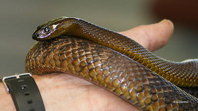 Photograph - Fierce Snake Inland Taipan 5 by Gary Crockett