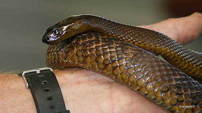 Photograph - Fierce Snake Inland Taipan 6 by Gary Crockett