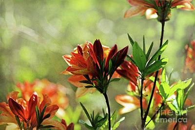 Digital Art - Fiery Azalea Flowers by Liz Alderdice