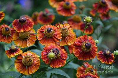 Photograph - Fiery Heleniums by Tanya Searcy