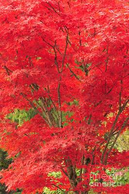 Photograph - Fiery Japanese Maple by Frank Townsley