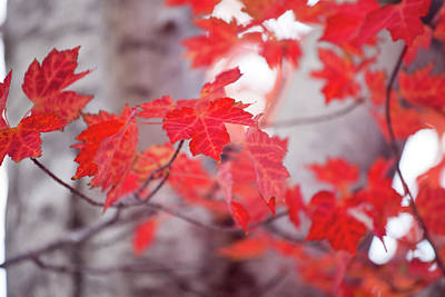 Photograph - Fiery Leaves by Toni Hopper