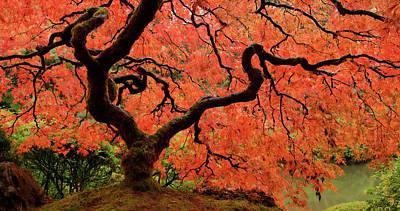 Photograph - Fiery Maple by Don Schwartz