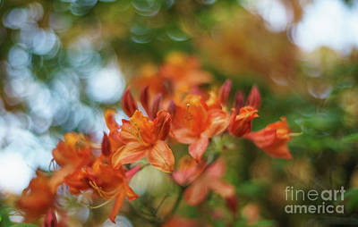 Fiery Orange Azaleas Explosion Art Print