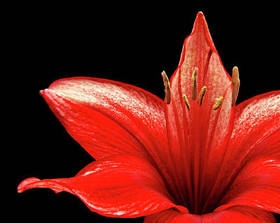 Art Print featuring the photograph Fiery Red by Judy Vincent