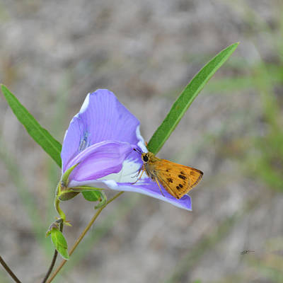 Photograph - Fiery Skipper And Butterfly Pea by rd Erickson
