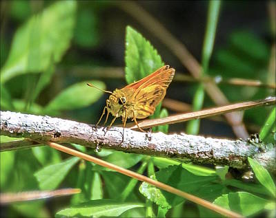 Photograph - Fiery Skipper Butterfly by Carol Bradley