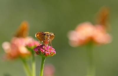 Photograph - Fiery Skipper by Katherine White