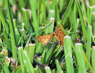 Photograph - Fiery Skipper Mating Dance by William Tasker