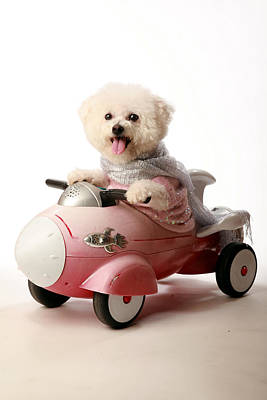 Fifi The Bichon Frise And Her Rocket Car Art Print by Michael Ledray