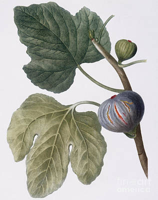 Berry Drawing - Fig by Pierre Joseph Redoute