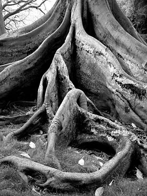 On Paper Photograph - Fig Tree Roots  by Patricia Bigelow