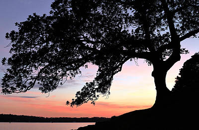 Photograph - Fig Tree Silhouette by Nicholas Blackwell