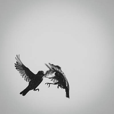 Starlings Photograph - Fight by Chris Dale