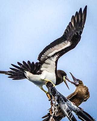 Photograph - Fighting Boobie Birds by Gregory Daley  MPSA