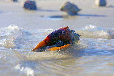 Photograph - Fighting Conch On Beach by Robb Stan