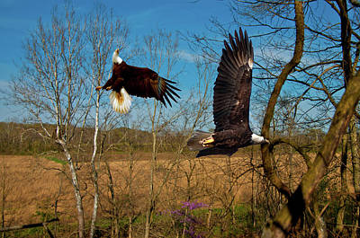 Photograph - Fighting Eagles by Randall Branham