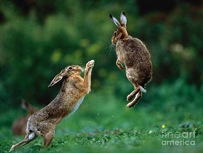 Photograph - Fighting European Hares by Manfred Danegger