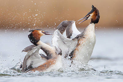 Birding Photograph - Fighting Grebes by Rien Van Zuijlen