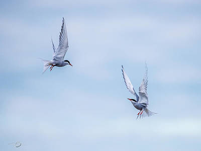 Photograph - Fighting Terns by Torbjorn Swenelius