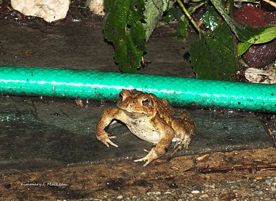 Photograph - Fighting Toad by Kimmary MacLean
