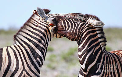 Photograph - Fighting Zebras, Africa Wildlife by Wibke W