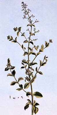 Weed Drawing - Figwort, Or Scrofulaira by Pierre-Joseph Buchoz