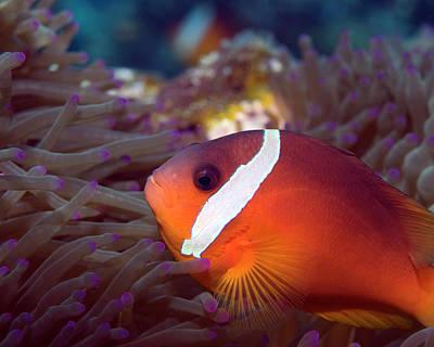 Photograph - Fiji Anemonefish, Beqa Lagoon by Pauline Walsh Jacobson