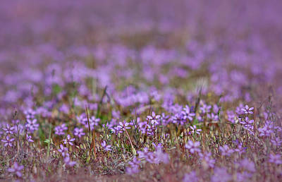 Photograph - Filaree Storksbill Erodium Cicutarium by Rick Mosher