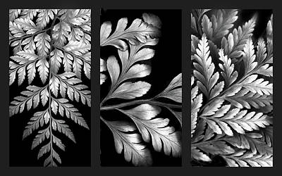 Photograph - Filigree Fern Triptych by Jessica Jenney