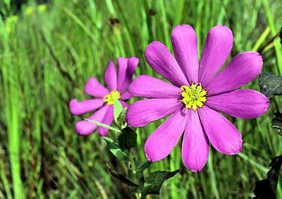 Photograph - Sabatia Bartramii by JC Findley
