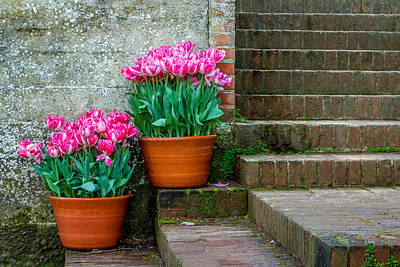 Photograph - Filoli Tulips by Bill Gallagher
