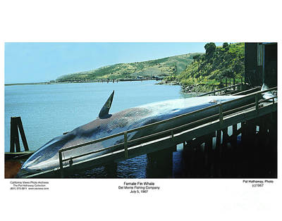 Photograph - Fin Whale On The Ramp Of The Del Monte Fishing Co.  1967 by California Views Mr Pat Hathaway Archives