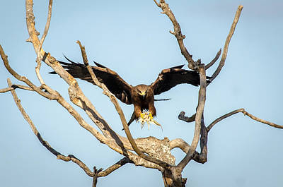 Eagle Photograph - Final Approach by Krishnaraj Palaniswamy