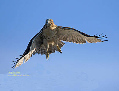 Red Tail Hawk Digital Art - Final Approach by Mary Dreher