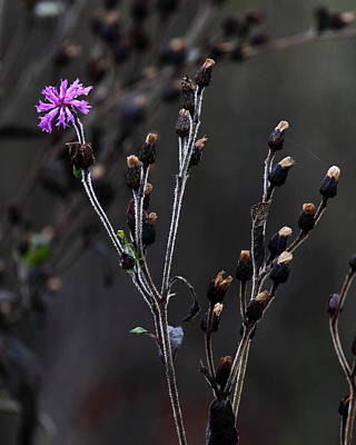 Photograph - Final Fall Flower by Michael Dougherty