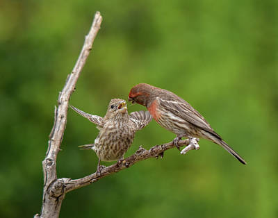 Red Finch Photograph - Finch Feeding Time I by Linda Brody